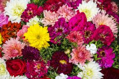 Beautiful autumn background from mixed aster different color stock photos
