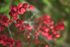 Beautiful autumn background of red leaves of barberry shrub, Dublin, Ireland. Autumnal background. Fall vibes