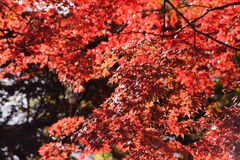 Beautiful autumn background red maple foliage in japan. Beautiful autumn background, red maple foliage in japan royalty free stock photos