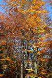 background autumn trees and beech trees with colorful leaves wit Royalty Free Stock Photography