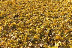 Beautiful autumn background of yellow leaves on the ground Stock Image
