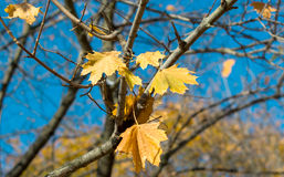 Beautiful autumn background from yellow maple leaves on the blue Royalty Free Stock Photography
