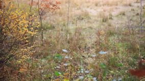 Beautiful autumn birch forest and falling leaves stock video footage