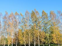 Nice yellow autumn birch trees, Lithuania Royalty Free Stock Photos