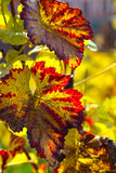 Beautiful autumn branch of grape Royalty Free Stock Photography