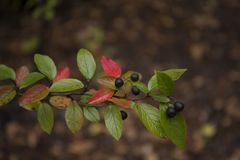 Beautiful colorful branch of shiny cotoneaster. Beautiful autumn branch of shiny cotoneaster lucidus Royalty Free Stock Photography