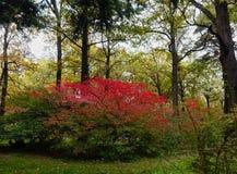 Beautiful autumn Bush Euonymus bright crimson. Royalty Free Stock Photos