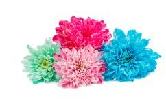 Beautiful autumn chrysanthemum flowers Royalty Free Stock Image
