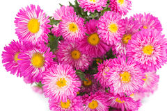 Beautiful autumn chrysanthemums isolated on white background. Royalty Free Stock Image