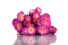 Beautiful autumn chrysanthemums isolated on white background. Royalty Free Stock Images