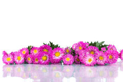 Beautiful autumn chrysanthemums isolated on white background Royalty Free Stock Photo