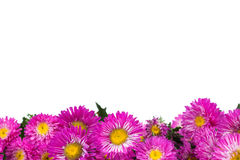 Beautiful autumn chrysanthemums isolated on white background Stock Photos
