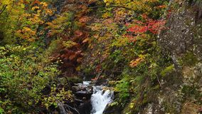 Beautiful autumn color of foliage in the forest at Naruko Gorge