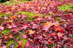 The beautiful autumn color of Japan. japanese red maple leaves fall on green grass background. Stock Image