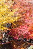 the beautiful autumn color of Japan maple leaves in Maple corri Royalty Free Stock Photography
