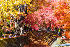 the beautiful autumn color of Japan maple leaves in Maple corri Royalty Free Stock Image