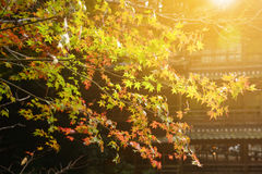 The beautiful autumn color of Japan maple leaves on tree with mo Stock Image