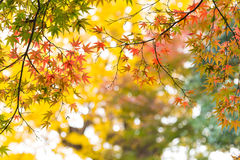 the beautiful autumn color of Japan maple leaves on tree, yello Stock Images