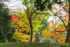 the beautiful autumn color of Japan maple leaves on tree, yello Royalty Free Stock Photography