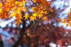 the beautiful autumn color of Japan maple leaves on tree, yello Royalty Free Stock Images