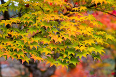 the beautiful autumn color of Japan yellow anfd green maple leav Royalty Free Stock Photo
