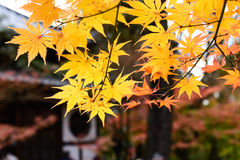 the beautiful autumn color of Japan yellow anfd green maple leav Royalty Free Stock Photography