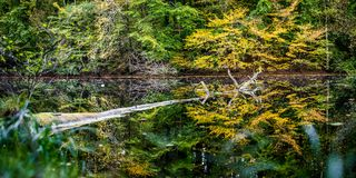Beautiful autumn colored trees reflected in a small pond. One old tree floating on water surface stock photo