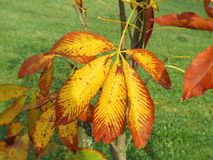 Colorful chestnut tree leaves, Lithuania Stock Photography