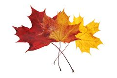 Beautiful autumn colour leaves Royalty Free Stock Image