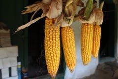 Beautiful autumn corns Stock Photo