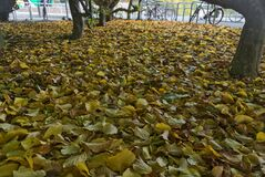 Beautiful autumn covering of fallen yellow leaves beside bike parking on campus of university campus, Dublin, Ireland