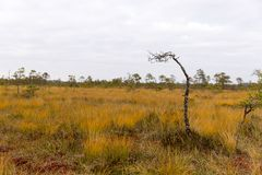 Beautiful autumn day hiking in swamp, Latvia. With cloudy skies and old tree Stock Image