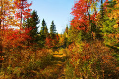 Beautiful autumn day in the woods. Beautiful sunny day during fall in Northern Canada forest with maple tree leaves in red and oranges, small path to follow Royalty Free Stock Image