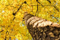 Autumn deciduous tree. Beautiful autumn deciduous tree. Picture from the bottom at the top stock image