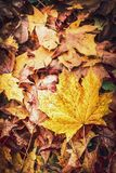 Beautiful autumn fallen leaves, top view, fall nature. Background Royalty Free Stock Image