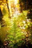 Beautiful autumn fem detail. Autumn detail photo of fem taken in woods, in polish Beskidy mountains, Krawcow Wierch stock image