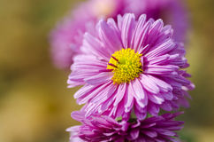 Beautiful autumn flower on blurred background. Close up Stock Photos