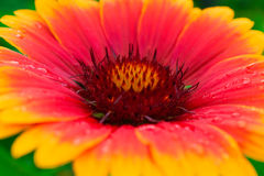 Beautiful autumn flower with yellow and red petals. macro. Stock Photo