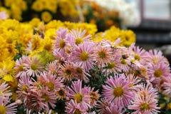 Beautiful autumn flowers of Chrysanthemum of different colors. Chrysanthemum. Beautiful autumn flowers of Chrysanthemum of different colors stock photos