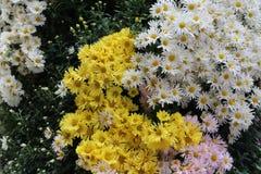 Beautiful autumn flowers of Chrysanthemum of different colors. Chrysanthemum. Beautiful autumn flowers of Chrysanthemum of different colors royalty free stock images