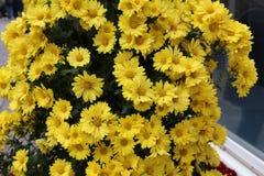 Beautiful autumn flowers of Chrysanthemum of different colors. Chrysanthemum. Beautiful autumn flowers of Chrysanthemum of different colors stock photography