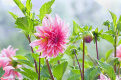 Beautiful autumn flowers dahlia Stock Images