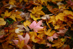Beautiful autumn foliage Royalty Free Stock Photo