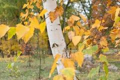 Beautiful autumn foliage of birch royalty free stock photo