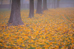 Beautiful autumn foliage  and fog Royalty Free Stock Images