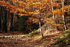 Beautiful autumn in the forest Royalty Free Stock Photography