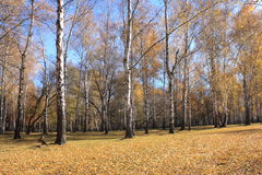 Beautiful autumn forest. Fall scene. Beautiful Autumnal park.Birch grove. Royalty Free Stock Photography