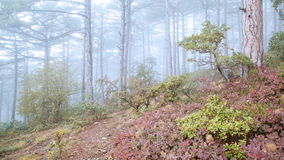 Beautiful autumn forest with fog. Stock Photography