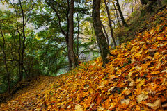Beautiful autumn forest with golden leaves on the ground. Beautiful autumn forest with golden maple leaves on the ground Stock Image