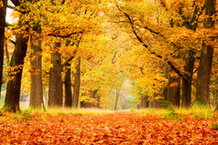 Golden woods in autumn